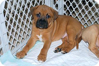 Boxer Mix Puppy for adoption in Minneola, Florida - Tyson