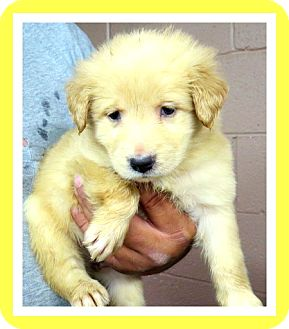 Golden Retriever Mix Puppy for adoption in Woodlyn, Pennsylvania - Tinker