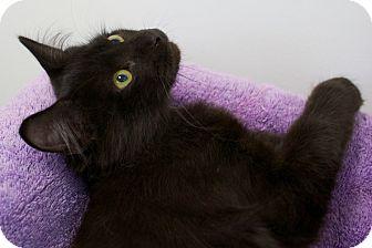 Domestic Shorthair Kitten for adoption in Houston, Texas - Flynn White