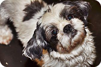 Shih Tzu Dog for adoption in Brooklyn, New York - Anya