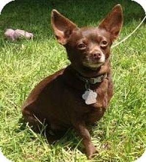Chihuahua Dog for adoption in Kingwood, Texas - Sadie2