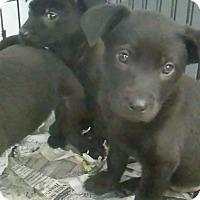 Adopt A Pet :: Ebony - Philadelphia, PA