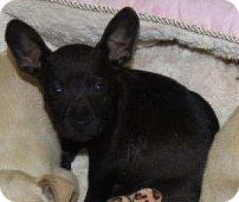 Labrador Retriever/Shepherd (Unknown Type) Mix Puppy for adoption in Orland Park, Illinois - Batman