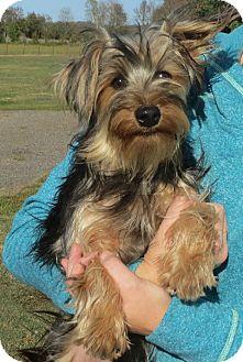 Yorkie, Yorkshire Terrier Puppy for adoption in Allentown, Pennsylvania - Demetrius