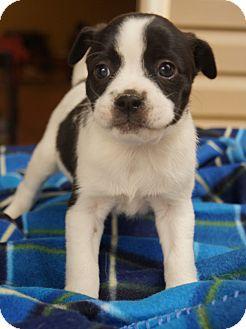 Boston Terrier Mix Puppy for adoption in Newark, Delaware - Zeno