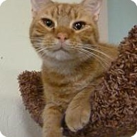 Domestic Shorthair Cat for adoption in Westville, Indiana - Buster Brown