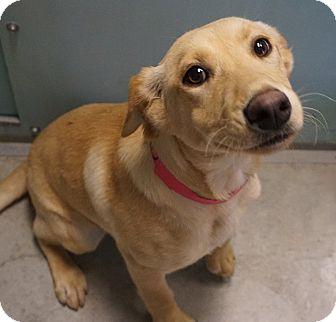 Labrador Retriever Mix Dog for adoption in Farmington, New Mexico - Carly