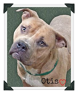 Pit Bull Terrier Mix Dog for adoption in Chester, Connecticut - Otis