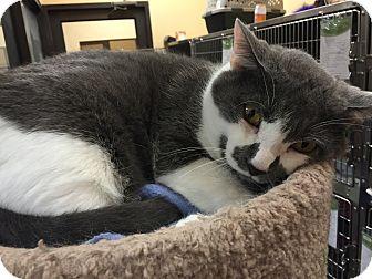 Domestic Shorthair Cat for adoption in Daytona Beach, Florida - Snuggs