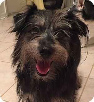 Schnauzer (Miniature)/Dachshund Mix Dog for adoption in Orlando, Florida - Peace