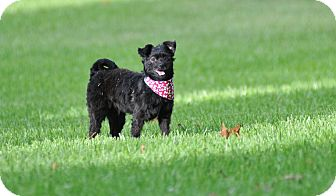 Miniature Poodle/Brussels Griffon Mix Dog for adoption in Westerly, Rhode Island - Emily