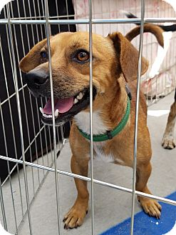 Beagle/Dachshund Mix Dog for adoption in Culver City, California - Parker