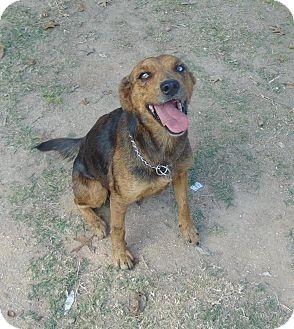 Cattle Dog Mix Dog for adoption in Olympia, Washington - Giddy