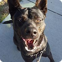 Adopt A Pet :: Harmony - Torrance, CA