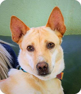 Shiba Inu/Basenji Mix Dog for adoption in Long Beach, New York - Sweetie