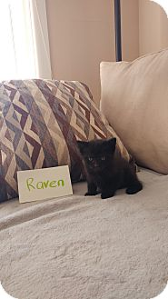 Domestic Shorthair Kitten for adoption in Media, Pennsylvania - Raven