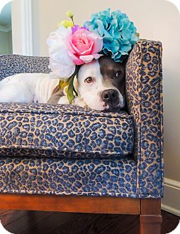 Staffordshire Bull Terrier Dog for adoption in Kittery, Maine - LADY
