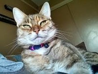 Domestic Shorthair Cat for adoption in Manchester, Connecticut - Tinkie