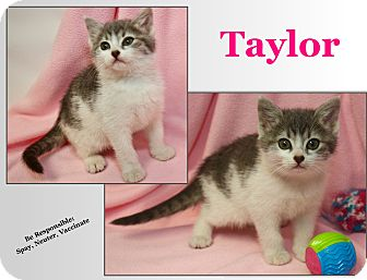 Domestic Shorthair Kitten for adoption in Cuba, Missouri - Taylor