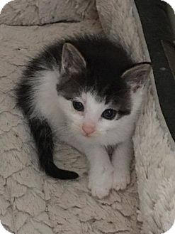 Domestic Shorthair Kitten for adoption in Toms River, New Jersey - Clayton