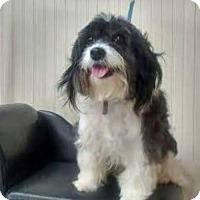 Adopt A Pet :: Angel - Northville, MI