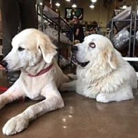 Adopt A Pet :: Shomer - Kyle, TX