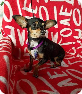Chihuahua/Dachshund Mix Dog for adoption in Hamilton, Ontario - Carina