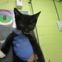 Domestic Shorthair/Domestic Shorthair Mix Cat for adoption in Greenville, North Carolina - Ash