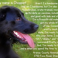 Adopt A Pet :: CHOPPER - Standish, MI