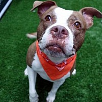 Adopt A Pet :: Sparkle Bitti - NYC, NY