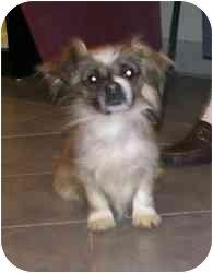 Pekingese Mix Dog for adoption in Randolph, New Jersey - Yoda