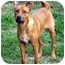 Photo 4 - Basenji/Shepherd (Unknown Type) Mix Dog for adoption in Nashville, Tennessee - Zoey