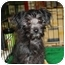 Photo 2 - Terrier (Unknown Type, Small)/Poodle (Toy or Tea Cup) Mix Puppy for adoption in Brighton, Michigan - Rosie