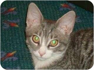 Domestic Shorthair Kitten for adoption in Port Republic, Maryland - Tiggy