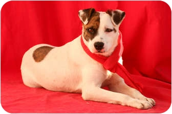 Cattle Dog/Boxer Mix Dog for adoption in Irvine, California - PIRATE