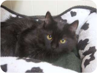 Domestic Mediumhair Kitten for adoption in Libby, Montana - Andy
