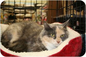 Domestic Longhair Cat for adoption in Richmond, Virginia - Amelia