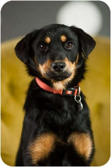 German Shepherd Dog/Basset Hound Mix Puppy for adoption in Portland, Oregon - Mandy