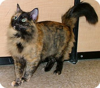 Maine Coon Cat for adoption in Chattanooga, Tennessee - Biscuit
