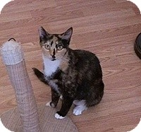 Domestic Shorthair Cat for adoption in Tampa, Florida - Rosie