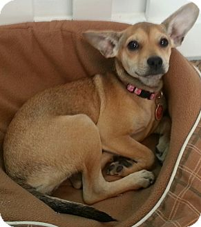 Chihuahua/Pug Mix Puppy for adoption in Thousand Oaks, California - Trixie