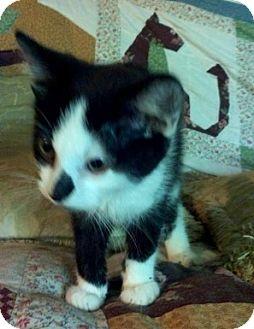 Domestic Shorthair Kitten for adoption in Newburgh, Indiana - Kieran