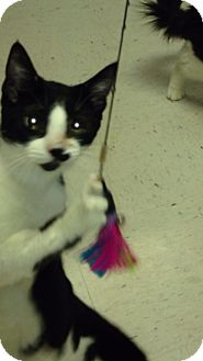 Domestic Shorthair Cat for adoption in Pahrump, Nevada - Cookie