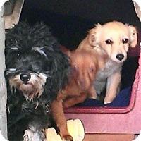 Adopt A Pet :: Cockapoo/Chih mix  babies - Seattle, WA