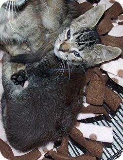 Domestic Shorthair Kitten for adoption in St. Pauls, North Carolina - Roker