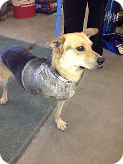 Beagle/Shepherd (Unknown Type) Mix Dog for adoption in Rosemount, Minnesota - Calvin