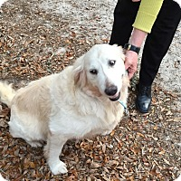 Adopt A Pet :: Lillie - New Canaan, CT