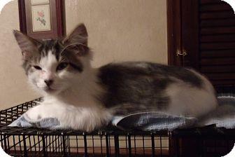 Domestic Shorthair Kitten for adoption in Acme, Pennsylvania - OREO