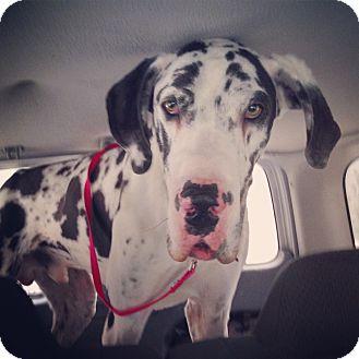 Great Dane Dog for adoption in Pottstown, Pennsylvania - Romeo