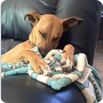 Black Mouth Cur/Labrador Retriever Mix Dog for adoption in Scottsdale, Arizona - Chester